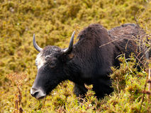 Close up of an eating yak in the himalayas Stock Photography