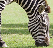 The close-up of the eating zebra Stock Photo