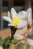 Close up eautiful charming white flower plumeria Royalty Free Stock Photo