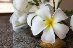 Close up eautiful charming white flower plumeria Stock Image