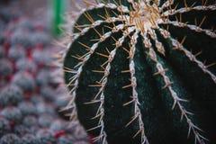 Close up on echinocactus grusoni leaf and plant Stock Photos