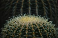 Close up on echinocactus grusoni leaf and plant Royalty Free Stock Photos
