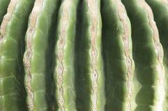 Echinocactus grusonii Royalty Free Stock Photo