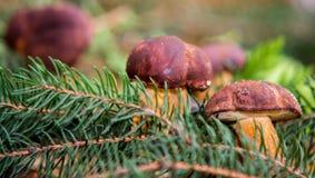 Close up on Edible Bay Bolete (Boletus badius ) Stock Images