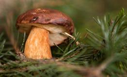 Close up on Edible Bay Bolete (Boletus badius ) Stock Image