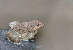 Close up edible frog amphibian animal in concrete tank habitat. At aquaculture farm Royalty Free Stock Image