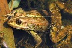 Close up of edible frog Stock Photos