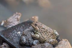 Close up edible frogs amphibian animal in concrete tank habitat. At aquaculture farm Stock Photo