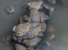 Close up edible frogs amphibian animal in concrete tank habitat. At aquaculture farm Stock Photography