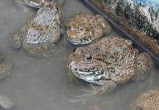 Close up edible frogs amphibian animal in concrete tank habitat. At aquaculture farm Stock Images