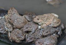 Close up edible frogs amphibian animal in concrete tank habitat. At aquaculture farm Stock Photos