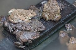 Close up edible frogs amphibian animal in concrete tank habitat. At aquaculture farm Royalty Free Stock Photography