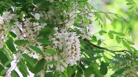 Close-up een bij die witte bloemen bestuiven stock video