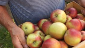 Close-up een groot houten dooshoogtepunt van rijpe rode appelen Het oogsten, de herfsttuin, eco-bewerkt, gezond voedsel stock footage
