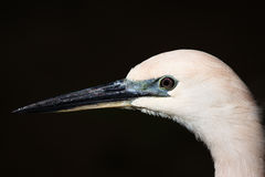 Close-up of Egret Royalty Free Stock Photos