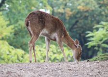 Eld`s deer, Panolia eldii. Close up of Eld`s deer Stock Image