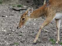Eld`s deer, Panolia eldii. Close up of Eld`s deer Stock Photography
