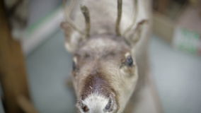 Close up Eld's Deer's nose. Deer foraging for food in the snowy woods stock video