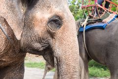 Close up elder Asiatic elephant face with spot and wrinkle skin stock photos