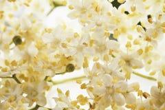 Close up of elder flower against white background Stock Image