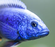 Close up of Electric Blue Hap (Sciaenochromis ahli) Cichlid Stock Photography