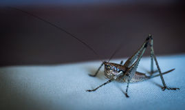 Close up of an Elegant Grasshopper, Greece Stock Image