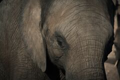 Close up of elephant Stock Image