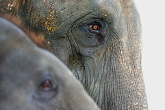 Close-up elephant,Asian elephant Stock Images