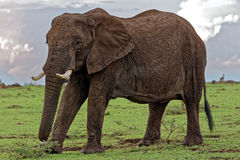 Close Up of Elephant with big tusks Stock Photo
