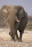 Close-up of Elephant bull walking in rocky field. Loxodonta Africana stock photography