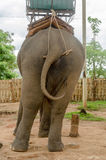 Close up of an elephant butt and swinging tails Royalty Free Stock Image