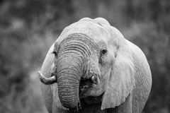 Close up of an Elephant drinking in black and white in Kruger. Close up of an Elephant drinking in black and white in the Kruger National Park, South Africa royalty free stock image