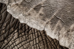 Close-up of Elephant Ear. Stock Images