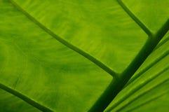 Close up of Elephant Ear plant leaf. Close up of leaf of Elephant Ear plant or Colocasia gigantea stock photo