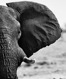 Close up of an elephant ear, Tusk and Eye in Hwange National Park, Zimbabwe, Southern Africa Royalty Free Stock Photo