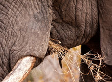 Close-up of elephant eating Royalty Free Stock Images