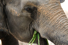 Close up elephant eating grasses. Royalty Free Stock Photography