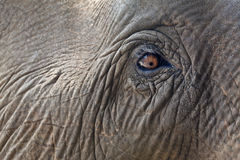 Close-up elephant eye. Stock Photos