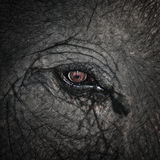 Close up of elephant eye Stock Image