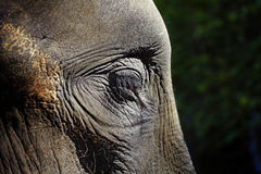 Close up elephant eye Stock Photo