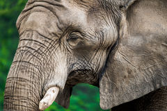 Close-up of Elephant face Stock Images