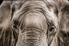 Close-up of Elephant face Stock Photo
