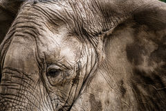 Close-up of Elephant face Stock Photography