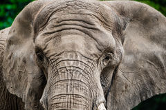 Close-up of Elephant face Stock Image