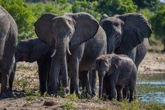 Close-up of elephant family walking towards camera Stock Images