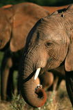Close up of elephant feeding with its trunk. Stock Images