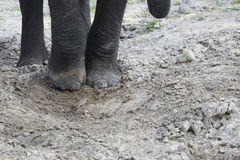 Close Up of Elephant Feet in Dusty Sand Royalty Free Stock Photo