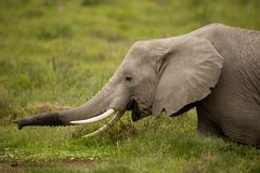 Elephant grazing Stock Photo