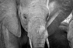 Close up of an Elephant head in black and white. Close up of an Elephant head in black and white in the Kruger National Park, South Africa stock photo