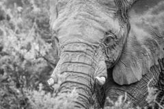 A close up of an Elephant head. Close up of an Elephant head in black and white in the Welgevonden game reserve, South Africa royalty free stock image